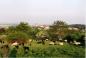 Schafbeweidung auf der Heide